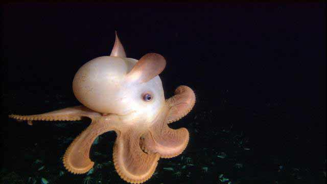 Dumbo-Octopus