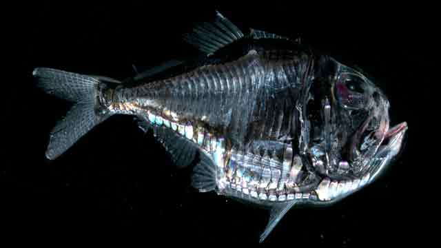 Giant-Hatchetfish