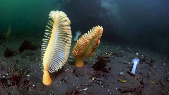 Sea-Pens