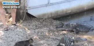 Cat-Crocodile fight caught on cam