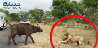 Deadly lions attack caught on camera